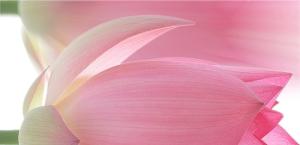 Lotus_Flower_IMG_7248-700